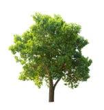 Albero verde isolato su priorità bassa bianca Immagine Stock Libera da Diritti
