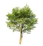Albero verde isolato su priorità bassa bianca Fotografia Stock Libera da Diritti