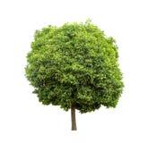 Albero verde isolato su priorità bassa bianca Fotografia Stock