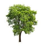 Albero verde isolato su priorità bassa bianca Immagini Stock Libere da Diritti