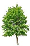 Albero verde meraviglioso Fotografie Stock