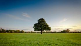 Albero verde in mezzo al parco Fotografie Stock