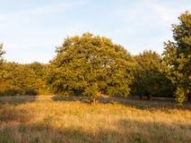 Albero verde pieno di estate alla luce del campo di erba dall'insieme del sole della luce del sole Fotografia Stock