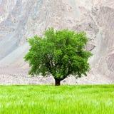 Albero verde solo sul campo in Ladakh, India Fotografie Stock