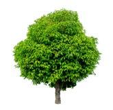 Albero verde su bianco Immagini Stock Libere da Diritti