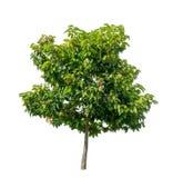 Albero verde su bianco Fotografie Stock Libere da Diritti