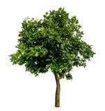 Albero verde su bianco Immagine Stock