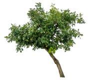 Albero verde su bianco Fotografia Stock Libera da Diritti