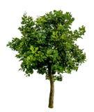 Albero verde su bianco Fotografia Stock
