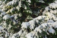 Albero verde su con neve bianca Fotografia Stock