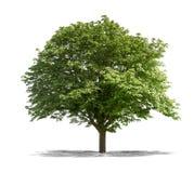 Albero verde su un fondo bianco Fotografia Stock Libera da Diritti