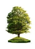 Albero verde su una priorità bassa bianca Fotografia Stock