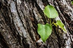 Albero verde sul fondo di legno della corteccia Immagine Stock