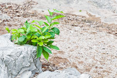 Albero verde sulla pietra Fotografia Stock Libera da Diritti