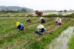 Albero vietnamita della cipolla del raccolto dell'agricoltore nel campo Fotografia Stock