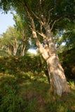 Albero vigoroso sulla pista dal lungomare alla Camera di Dunollie, Oban Fotografie Stock