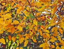 Albero vistoso della montagna-cenere sulla caduta con le bacche rosse e il leav dorato Immagini Stock