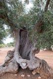 Aged gnarled olive trees in a field near Alberobello in Puglia, South Italy. Alberobello, Puglia, Italy. Ancient gnarled olive trees in a field near Alberobello royalty free stock image