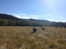 Alberta Beef Lizenzfreie Stockbilder