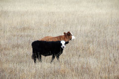 Alberta beef cattle. Picture of two beef calves in Alberta,Canada Stock Photo