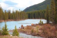 Alberta Elks in the wild Royalty Free Stock Image