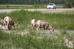 Alberta Roadways. Mountain SHeep grazing in the side of Hwy 1 Stock Photo