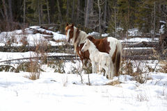 Alberta Wild Horses. Wild horses, a pinto mare and a white foal in the wilderness of northern Alberta, Canada Stock Images
