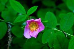 Alberta Wild Rose image stock
