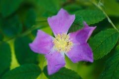 Alberta Wild Rose Fully Blooms Stockfoto