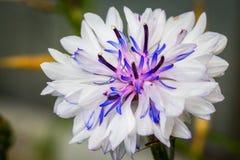 Alberta Wildflower Lizenzfreie Stockbilder