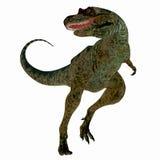 Albertosaurus Dinosaur on White Royalty Free Stock Photography