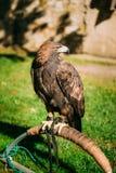 Albicilla d'or se reposant d'Eagle Haliaeetus Oiseau sauvage Photographie stock