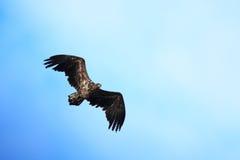 Albicilla del Haliaeetus, Mar-Eagle Blanco-atado Foto de archivo
