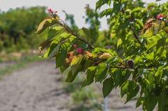 albicocca Fotografia Stock