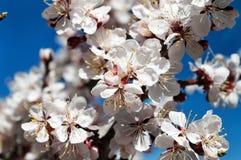 Albicocca del fiore della primavera Fotografia Stock Libera da Diritti