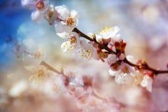Albicocca di fioritura Fotografia Stock