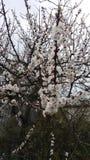 Albicocca di fioritura Fotografie Stock