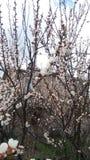 Albicocca di fioritura Fotografia Stock Libera da Diritti