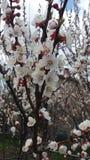 Albicocca di fioritura Fotografie Stock Libere da Diritti