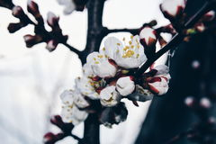 Albicocca di fioritura immagine stock