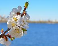 Albicocca di fioritura contro il cielo blu immagini stock libere da diritti