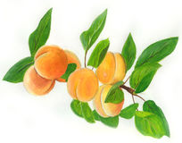 Albicocche. Branch of apricot whit leaf Royalty Free Stock Photography