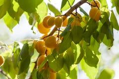Albicocche al sole Frutta succosa sui rami degli alberi L'albicocca matura è pronta per raccogliere immagine stock libera da diritti