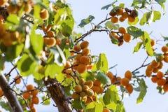 Albicocche al sole Frutta succosa sui rami degli alberi L'albicocca matura è pronta per raccogliere fotografia stock