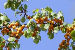 Albicocche al sole Frutta succosa sui rami degli alberi L'albicocca matura è pronta per raccogliere fotografie stock
