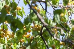 Albicocche al sole Frutta succosa sui rami degli alberi L'albicocca matura è pronta per raccogliere fotografia stock libera da diritti