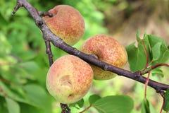 Albicocche che crescono sul ramo di albero Fotografia Stock Libera da Diritti