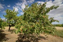 Albicocche mature che crescono nel frutteto di frutta nostrano Albicocche pronte Fotografia Stock