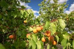 Albicocche mature che crescono nel frutteto di frutta nostrano Albicocche pronte Immagini Stock Libere da Diritti