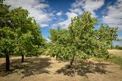 Albicocche mature che crescono nel frutteto di frutta nostrano Albicocche pronte Fotografie Stock Libere da Diritti